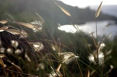 Blossom (It's Stefan) Tags: white green nature backlight contraluz landscape blossom blumen malta bloom backlighting gegenlicht blhen ghaintuffieha