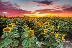 Sacramento Sunflower Field (Ben Sheriff Photography) Tags: sunset summer northerncalifornia clouds woodland landscape farm sunflowers sacramentovalley sunflowerfield
