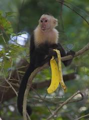 Singe Capucin, Costa Rica (marinagermain78) Tags: capucins costaricadecembre2015