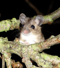 Field Mouse in tree (dugwin2) Tags: above cute field mouse four ground metres