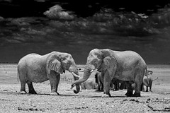 Large Bull Elephants playing in Etosha (paulafrenchp) Tags: