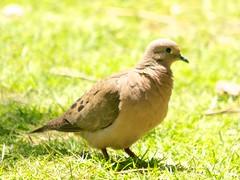 DSC_9480 (Bird Brian) Tags: eareddove