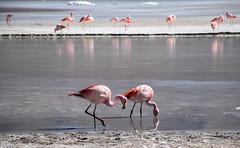 Phoenicoparrus jamesi - Laguna hedionda (Matthieu Jolivet) Tags: pink rose flamingo bolivia andes altiplano uyuni bolivie lipez andina lagunahedionda flamant cordilleradelosandes flamantsroses cordillredesandes nordlipez flamentdejames
