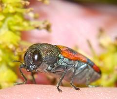 Mangrove orange black and red  jewel beetle Buprestidae Airlie Beach P1290996 (Steve & Alison1) Tags: red orange black beach beetle mangrove jewel airlie buprestidae excoecaria agallocha