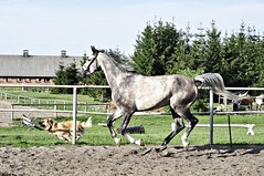 Pferd 7 (franziska.stier) Tags: horse outdoor natur hund pferd rennen tier