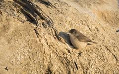 Rock Wren (_BirdsTheWord_) Tags: nature birds rock canon eos wren 400mm 70d canonef40056l