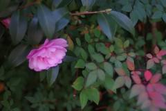 花灯り (kokemomiji) Tags: pink red green 山茶花 camelliasasanqua camellia sasanqua 南天 nandinadomestica さざんか