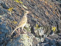 Anthus novaeseelandiae 2 (barryaceae) Tags: nature island harbour reserve australia nsw coffs muttonbird ausbird ausbirds