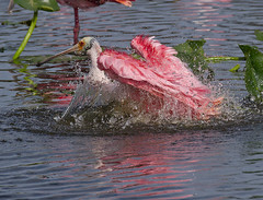 Happy Valentines Day (ruthpphoto) Tags: pink nature birds bath heart wildlife avian spoonbill roseatespoonbill happyvalentinesday