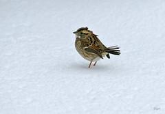 White-throated Sparrow (BIRD NERD - Marigami) Tags: ny birds wind snowstorm whitethroatedsparrow