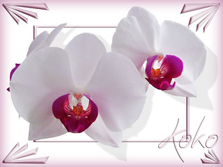 3 orchids on white