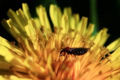 March fly on dandelion (TJ Gehling) Tags: plant flower insect fly weed dandelion elcerrito asteraceae diptera taraxacum taraxacumofficinale asterales fairmontpark marchfly bibionidae nematocera dilophus dilophusoccipitalis