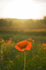 DSC04567 (wheelsy1) Tags: walking derbyshire poppy chesterfield sheepbridge poppyfield unstone richardwiles