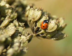 7 Spotted Ladybird (Annette Rumbelow) Tags: 7 depthoffield spots ladybird spotted macroshots annetterumbelowwilson