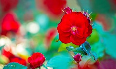 Beauty, Colors, and Dreamy Bokeh (   (Thank you, my friends, Adam!) Tags: flower color macro art colors beautiful beauty closeup garden photography nikon colorful gallery photographer bokeh gorgeous fine excellent dreamy dslr curve