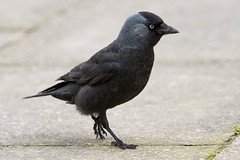 Jackdaw (Shane Jones) Tags: bird nikon corvid jackdaw tc14eii 200400vr d7200