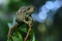 Blue Bokeh (Leela Channer) Tags: wild green nature leaves animal female garden branch kenya bokeh reptile lizard chameleon jacksons jacksonschameleon