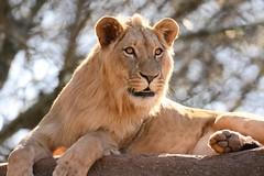 """Prince"" of the Jungle.. (tvdflickr) Tags: atlanta male zoo nikon lion nikkor vr afs zooatlanta d610 200500mm nikontc14 nikond610 photosbytomdriggers photobytomdriggers thomasdriggersphotography"