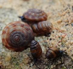 Mollusca, Gastropoda, Stylommatophora - Lauriidae : Lauria cylindracea (da Costa, 1778) (Ihagee86) Tags: micronikkor macrophotographie fujifilmfinepixs5pro gastropodes micronikkor55mmais