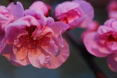 plum_20160213_3 (faeparsons) Tags: flowers blossoms plumblossoms