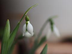 (Polotaro) Tags: flower nature pen garden olympus    1    mzuikodigital45mmf18 epm2