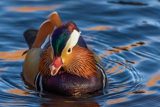 DSC_5039 Mandarin Duck