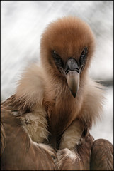 Griffon Vulture Portrait (Rheo's Photography) Tags: brown bird animal focus bokeh maroon ngc feather vulture braun vogel griffon fokus geier feder tiefenschrfe gnsegeier