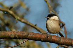 Willow Tit (Louise Morris (looloobey)) Tags: cold tree andy branch bright di cannockchase willowtit february2016 am0a3123