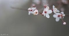 Fleurs de Cerisier (lovetoday90) Tags: bokeh flower printemps nature d3100 nikon 50mm18