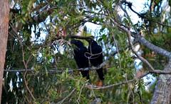 DSC_0062 (RUMTIME) Tags: nature birds feathers queensland currawong coochie coochiemudlo