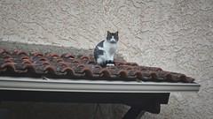 Chat perch (Kwalestafar) Tags: cat chat meow gatto matou flin gattino hauteur miaou