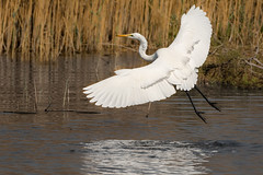 Great egret - Take off (malc1702) Tags: nature water birds takeoff greategret wildlifesanctuary migratorybirds largebirds nikond7100 tamron150600