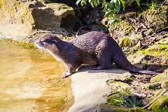 Banham zoo-4123 (Patrick Ladbrooke) Tags: nature canon zoo wildlife norfolk otter banham