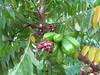 starr-130221-1601-Averrhoa_bilimbi-fruit_and_flowers-Waihee-Maui (Starr Environmental) Tags: averrhoabilimbi