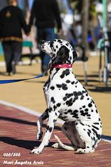 Laika (Mari Ángeles A.S.) Tags: perro dálmata