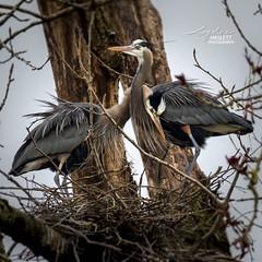 Great Blue Heron Pair (Angeline Haslett Photography) Tags: blue heron nature birds wildlife pair great truelove angelinehaslett angelinehaslettphotography angelinehaslettcopyrighted2016