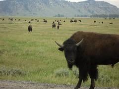 Buffalo Yellowstone July 2012 (Johns Journeys) Tags: nature buffalo wildlife beast yellowstone