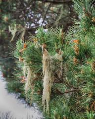 butterfly town (nosha) Tags: california ca trees orange usa black green beautiful beauty pine butterfly pacific monarch pacificgrove sanctuary nosha
