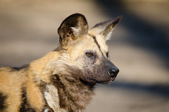 African wild dog (Mathias Appel) Tags: africa autumn wild portrait dog fall dogs field leaves animal animals fur zoo tiere dof head african painted herbst hunting ears canine depthoffield hund afrika hunter tierpark bltter depth fell snout tier doge ohren pelz lycaon schnauze jger pictus pelzig afrikanischer wildhund raubtier predatur