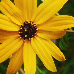 My favorite season for #wildflowers. #rudbeckia... (Juliette_Adams) Tags: autumn wildflowers macros rudbeckia fallflowers blackeyedsusan firstdayofoctober uploaded:by=flickstagram instagram:photo=108649037286038722946253686
