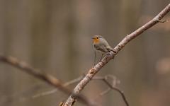 Je l'ai eu (Eric Penet) Tags: wild france bird nature animal rouge wildlife gorge oiseau forêt nord rougegorge sauvage faune avesnois passereau mormal locquignol