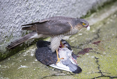 Sparrowhawk (marra121) Tags: bird garden eating hawk pigeon feathers sparrow cumbria whitehaven