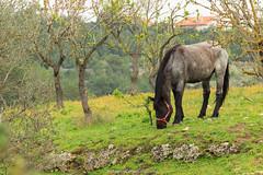 Pranzo solitario (Antonio Ciriello PhotoEos) Tags: trees wild horses italy horse verde green nature grass alberi canon countryside italia natura campagna erba tamron cavalli cavallo puglia taranto 70300 apulia triglie 600d selvaggio statte 70300vc eos600d canoneos600d tamron70300vc rebelt3i 70300vcusd parcodeltriglio