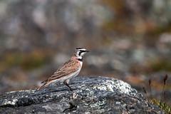 Horned Lark (R Hardy) Tags: lark hornedlark