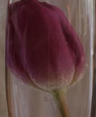 Tulip (Knoffelhuisie Photography.) Tags: rose tulips tulip glas tulpen roze tulp tulipstulpen glasreflectie