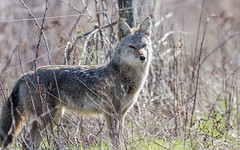 Coyote of Columbia Valley (nickinthegarden) Tags: coyotes cultuslake columbiavalley chilliwackbccanada