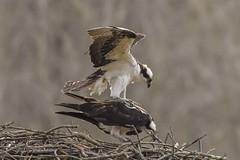 OSPREYS - MATING (nsxbirder) Tags: ohio male female mating osprey pandionhaliaetus morrow morrowgravelpits