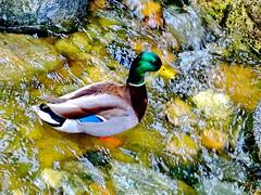 Male mallard or wild duck (Anas platyrhynchos) (peggyhr) Tags: blue orange brown white canada black green water yellow vancouver duck rocks bc thegalaxy peggyhr thegalaxyhalloffame level1peaceawards dsc03034a