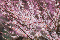 Higashiyama20160221b (FJK80046) Tags: flower plum  ume  aichi   higashiyama   higashiyamabotanicalgarden