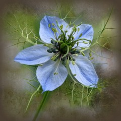 Love-in-a-mist (Linda DV (away)) Tags: blue azul canon geotagged blauw belgium arboretum bleu squareformat blau ranunculaceae meise blueflower loveinamist jardinbotanique naturesfinest plantentuin ranunculales nationalbotanicgardenofbelgium nigellededamas juffertjeintgroen powershots5is meiseplantentuin lindadevolder updatecollection nigelledamascena picmonkey powershotss5is thestupidasscollection themagicdonkeyrules
